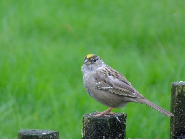 Gold-crowned Sparrow, Fujifilm FinePix HS50EXR