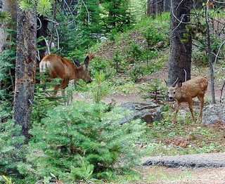 Fawn and Mom, Yellowstone 2011