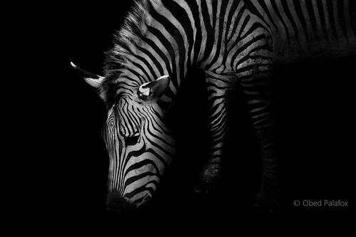 Cebra. Blanco y negro en blanco y negro.
