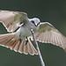 """""""Birds In Focus"""" has added a photo to the pool:PitirreNombre en inglés: Gray KingbirdNombre científico: Tyrannus dominicensisFamilia taxonómica: TyrannidaeFotografiado en: Reserva de Vida Silvestre Embalse Cerrillos en Ponce, Puerto Rico"""