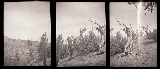 Gelto D-III Ancient Bristlecone Pines Triptych