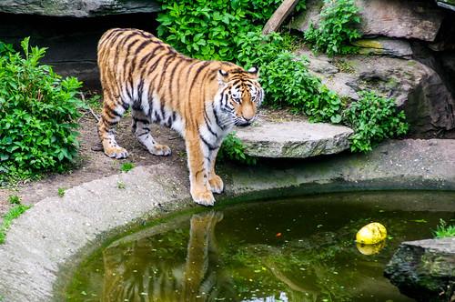 Tiger Cologne Zoo