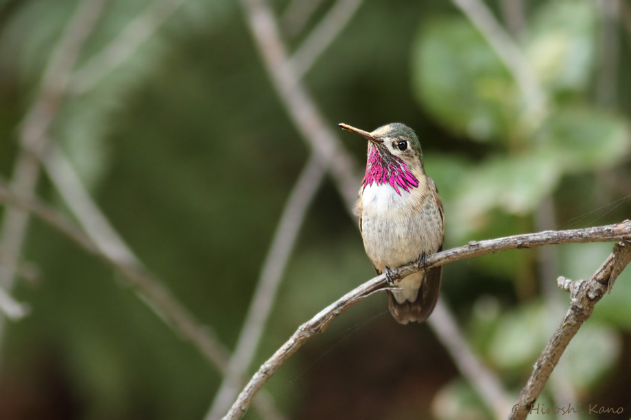 Calliope-Hummingbird-041014-6