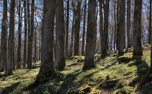 wood sun forest 50mm spring mark tm oaks midday anemonenemorosa woodanemone västragötaland västergötland oakforest bönhult sjuhärad fotskäl
