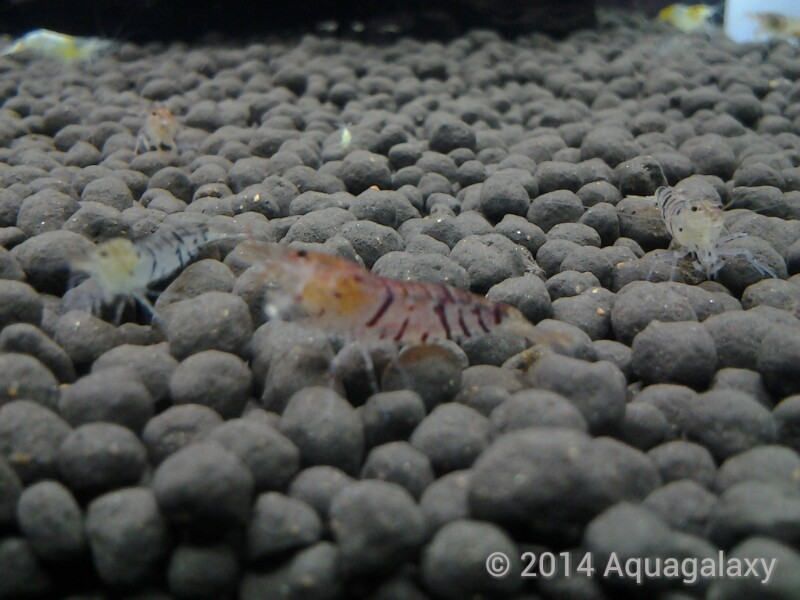 [Aquagalaxy] Aneka Udang Hias (Red Bee, Black Bee, Blue Pearl Shrimp, dll)