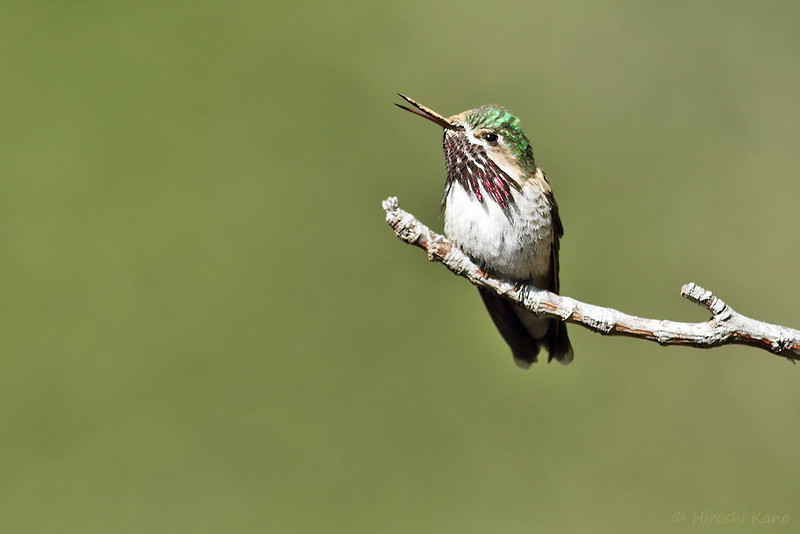 Calliope-Hummingbird-051014-8