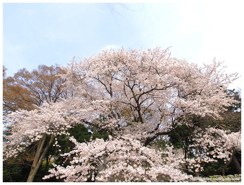 Cherry blossoms 20140412 #06