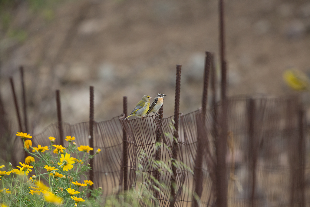 Whinchat 2014-05-03