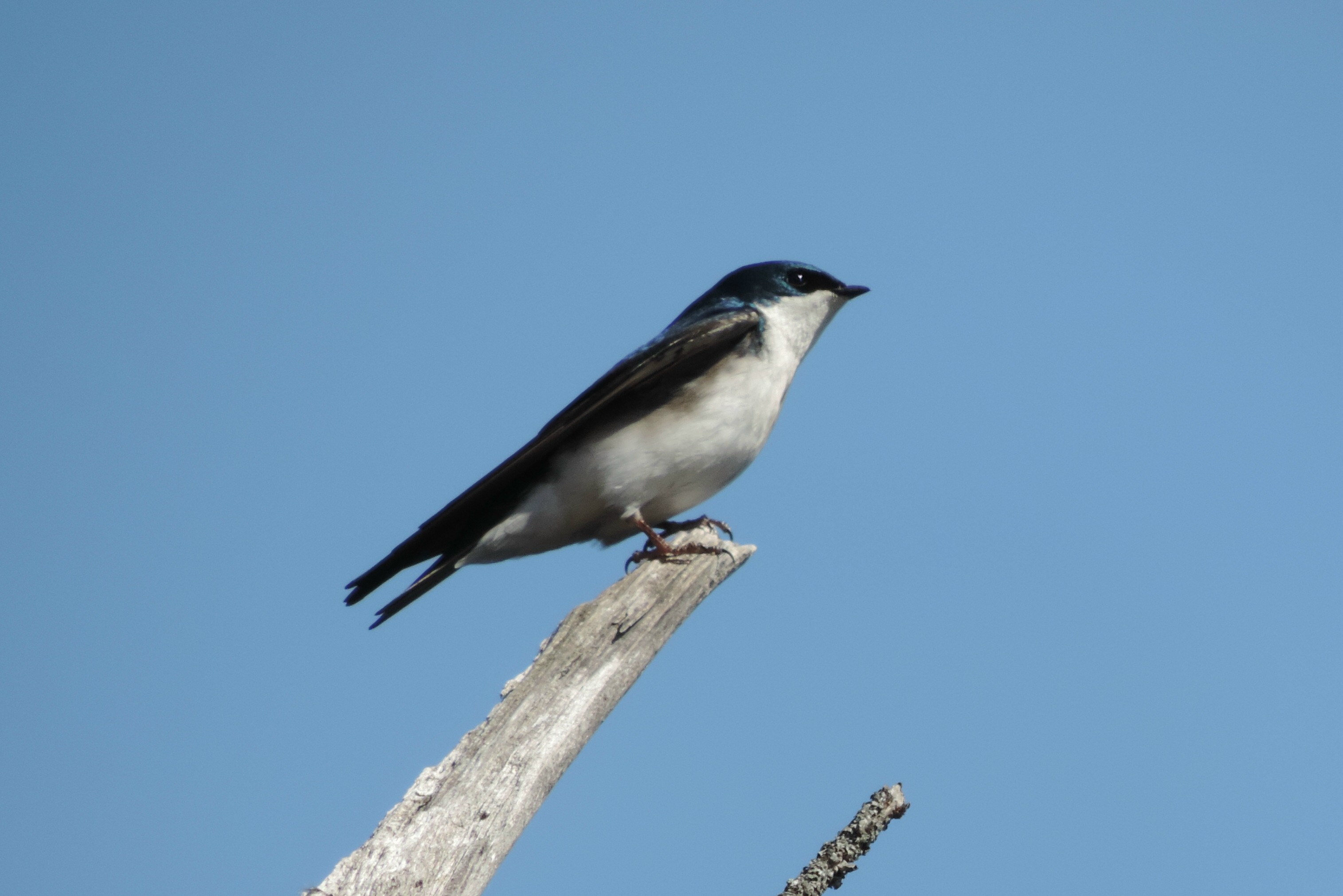 #50 Tree Swallow (Tachycineta bicolor)