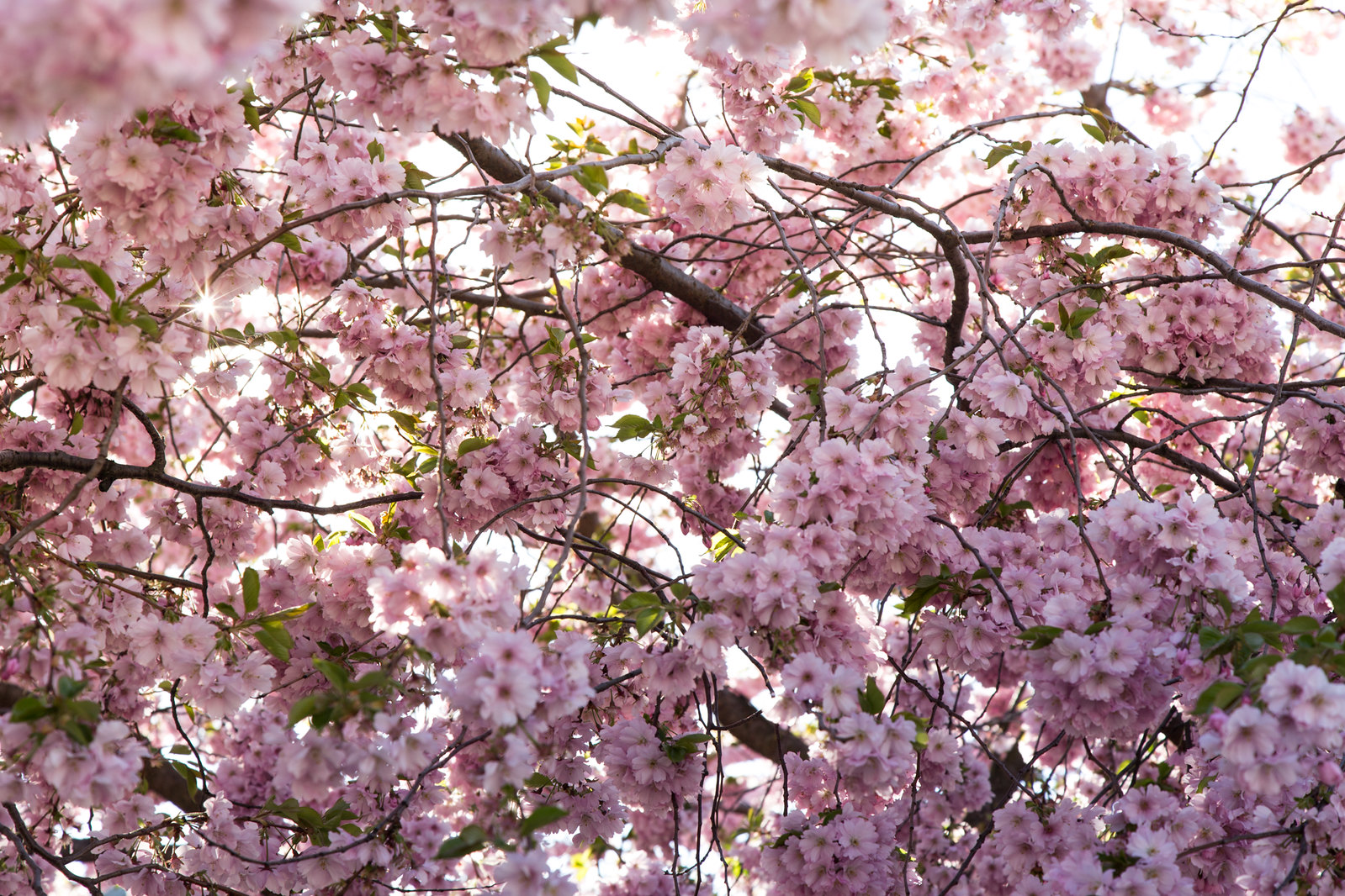 Cherry Blossoms in Kungsträdgården