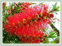 Macro shot of flower spike of Callistemon citrinus (Red Bottlebrush, Crimson/Lemon Bottlebrush)