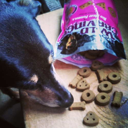 Tut is hard at work this morning... #review #EVO #WildCravings #dogtreats #dogstagram #instadog #rescued #coonhoundmix