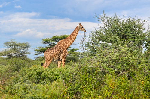 Giraffe at Onguma lodge, Etosha NP