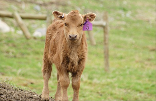 Newborn calf named after my Mom