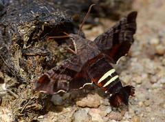 # 7873 – Amphion floridensis – Nessus Sphinx Moth  (No. 68 on presentation list)