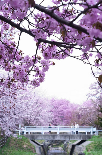 cherry blossoms07
