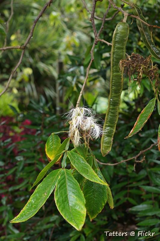 Inga edulis - flower, leaves, seedpod
