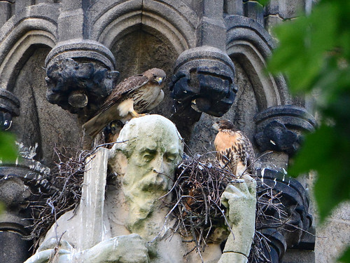 Cathedral Hawk Nestlings (1630)