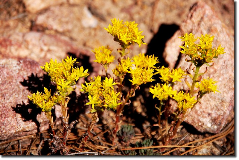 Yellow Stonecrop 2