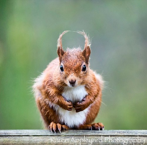 'Red Squirrel'