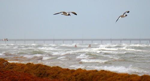 ocean vacation people tourism beach nature water birds fun pier flying moss waves texas wildlife seagull gulls kelp breakers soaring natefischpix