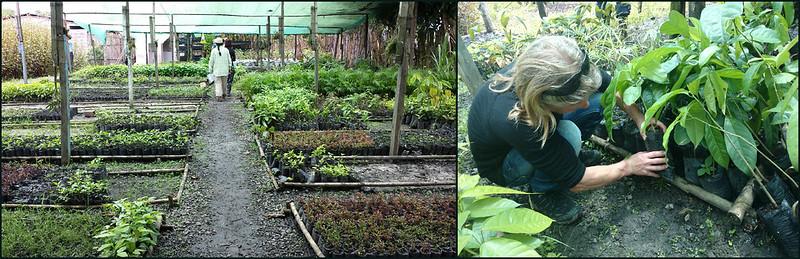 Choosing saplings at the nursery, Moyabamba