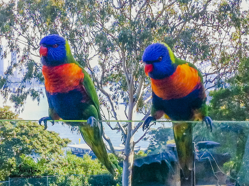 A couple of lorikeets