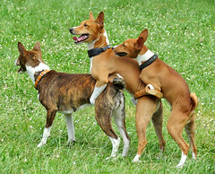 dog sports(0.0), animal sports(0.0), hound(0.0), pharaoh hound(0.0), cirneco dell'etna(0.0), sighthound(0.0), sports(0.0), pariah dog(0.0), ibizan hound(0.0), dog breed(1.0), animal(1.0), dog(1.0), carolina dog(1.0), pet(1.0), podenco canario(1.0), carnivoran(1.0), basenji(1.0),