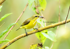 animal, branch, yellow, nature, green, fauna, finch, beak, bird, wildlife,