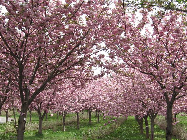 Full bloom / 満開の八重桜