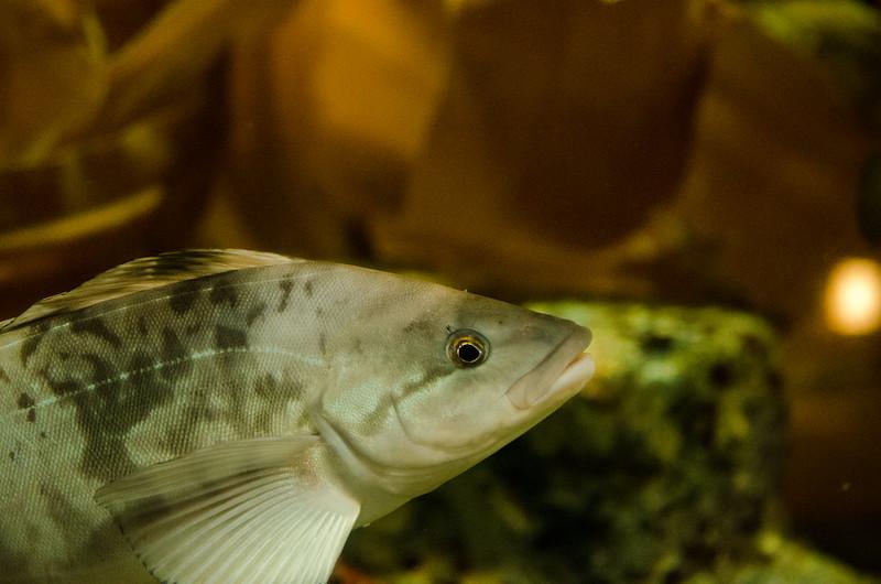 ホッケ Okhotsk atka mackerel