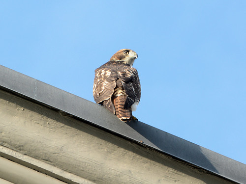 Cathedral Hawk Fledgling - 3331