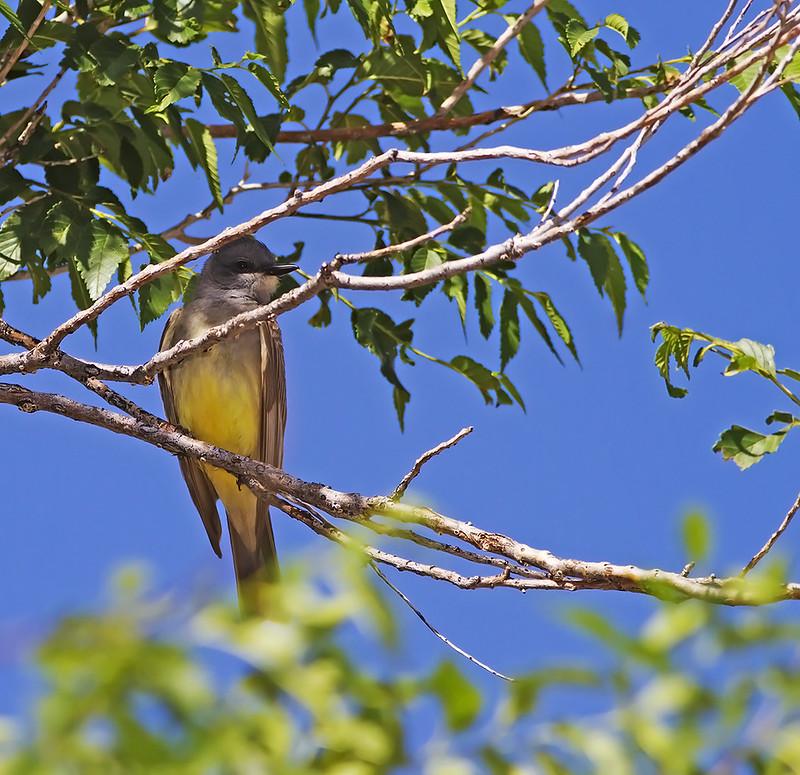 Western King Bird2_1145