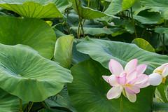 flower, leaf, plant, flora, sacred lotus, lotus, green, proteales, petal, aquatic plant,