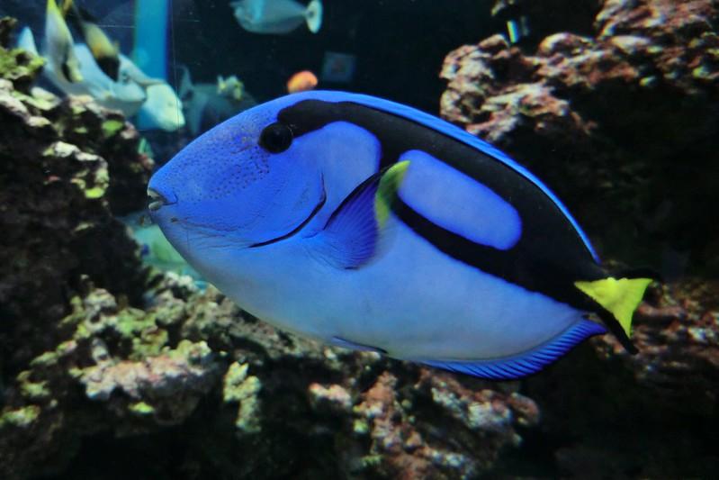 Dori fish