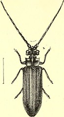 """Image from page 537 of """"Coleoptera : general introduction and Cicindelidae and Paussidae"""" (1912)"""