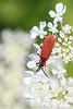 Net-winged beetle (Family Lycidae)