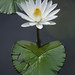 A White Water Lily by rivadock4