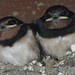 Last of the swallows fledge #1