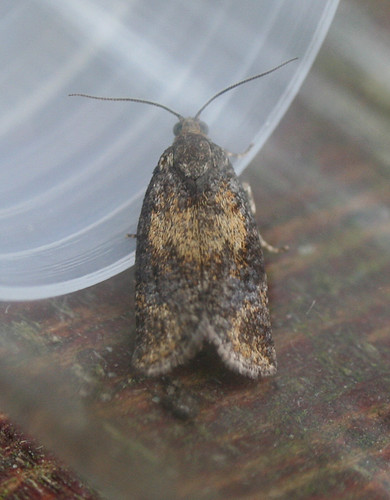 Ptycholomoides aeriferanus Tophill Low NR, East Yorkshire July 2014