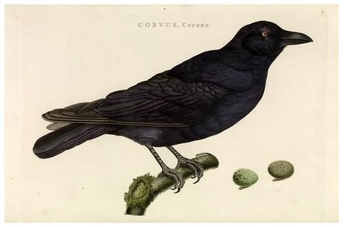 008-Cuervo- Nederlandsche vogelen- Nationale bibliotheek van Nederland