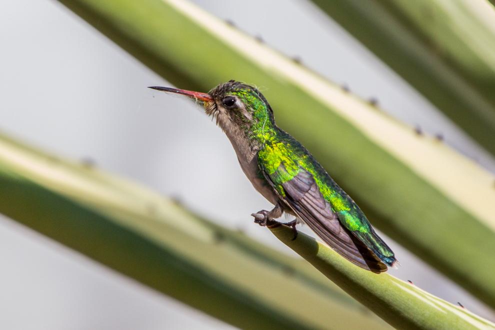 Un Picaflor verde (Chlorostilbon lucidus) hembra descansa sobre una planta espinosa. Uno de los colibries más comunes en areas urbanas del Paraguay, el macho tiene el plumaje verde que parece una gema esmeralda, también tienen una coloración azul brillante en la garganta que se observa cuando la luz le da en algunos angulos, en otras ocaciones parece negro.(Andrea Ferreira)