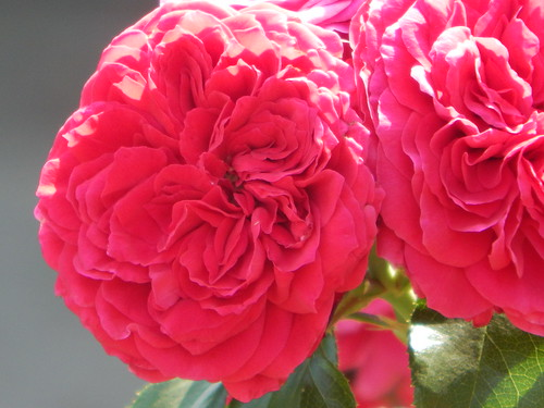 роза7