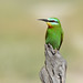 Blue-cheeked Bee-eater (Eric Browett)