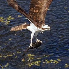 Osprey with Bullhead Catfish