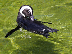 Memphis Zoo 08-31-2016 - African Black-footed Penguin 9