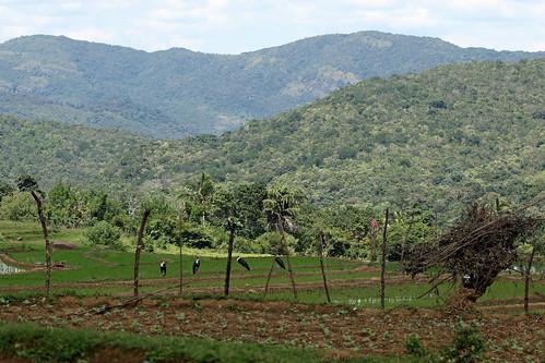 srilanka rathninda village fields cultivation stork paddy paddyfield rice mountain hill