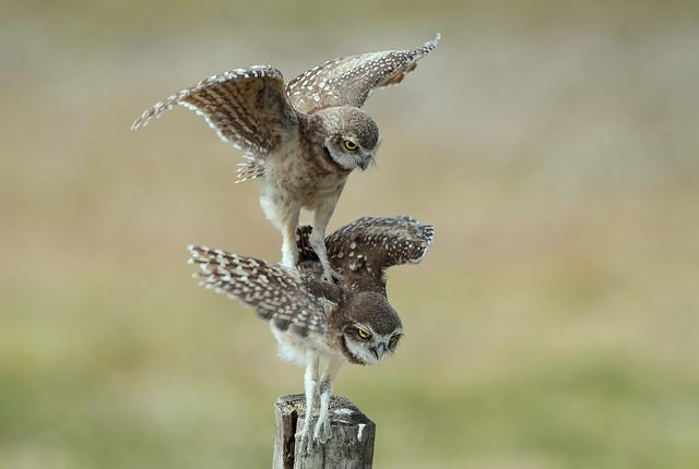 Burrowing Owlets - Bad, Nikon D500, AF-S VR Nikkor 500mm f/4G ED