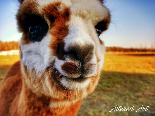 brown & white baby alpaca face....so cute!