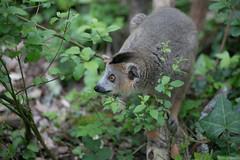 Lémur - Réserve zoologique de Calviac